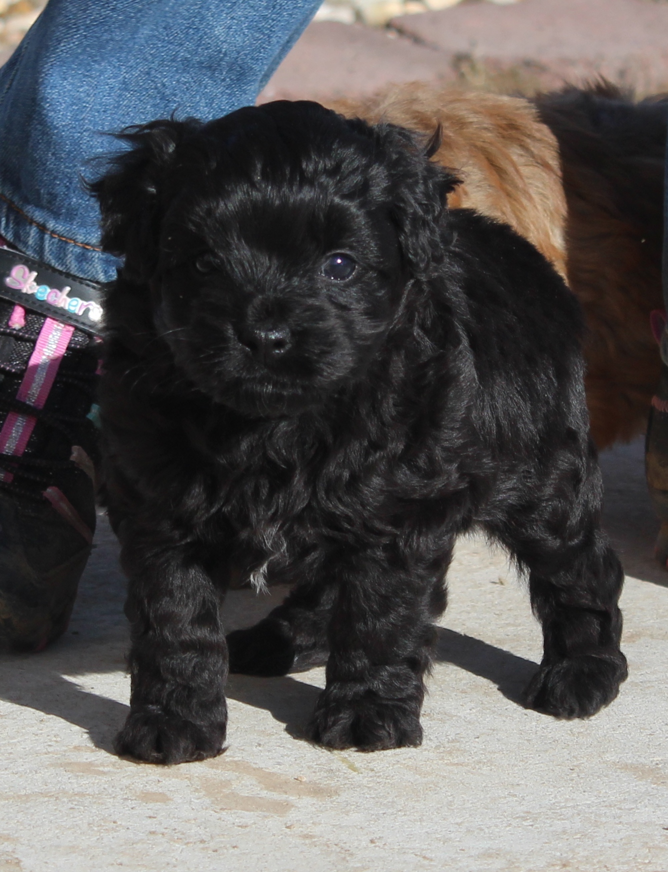 About The Aussiedoodle